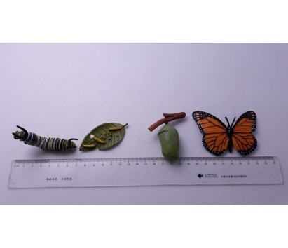 butterfly life cycle model