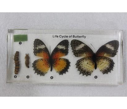 Butterfly development specimen bioplas mount