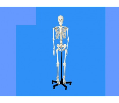 170 cm Skeleton with stand